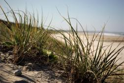 beach grass STAR